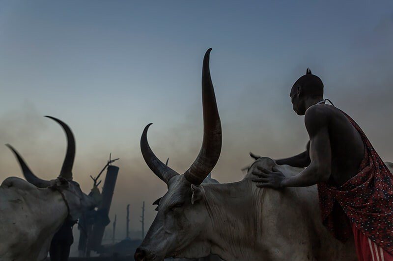 Tariq Zaidi - A Mundari man washes his cows with ash to protect them from insects during the night