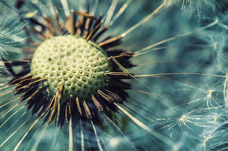 closeup-dandelion-head-garden-283772363