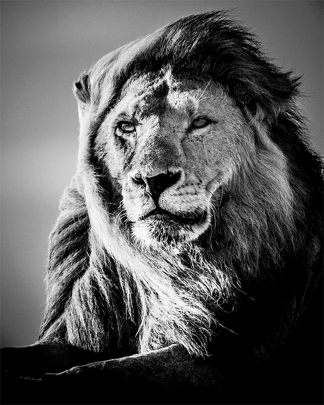 Lion in the wind 5, Tanzania 2007<p>© Laurent Baheux</p>