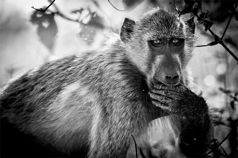 Baboon has something to say, Botswana 2009<p>© Laurent Baheux</p>