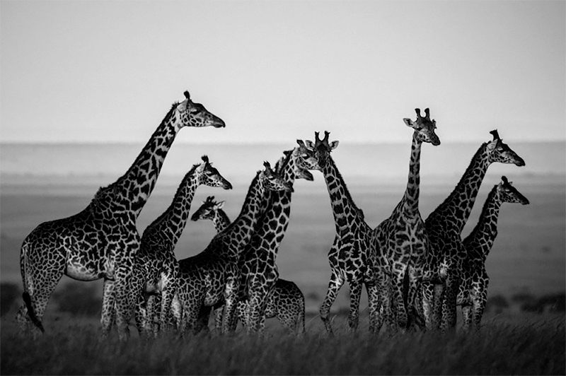 Giraffes in harmony with their natural setting, Kenya 2013<p>© Laurent Baheux</p>