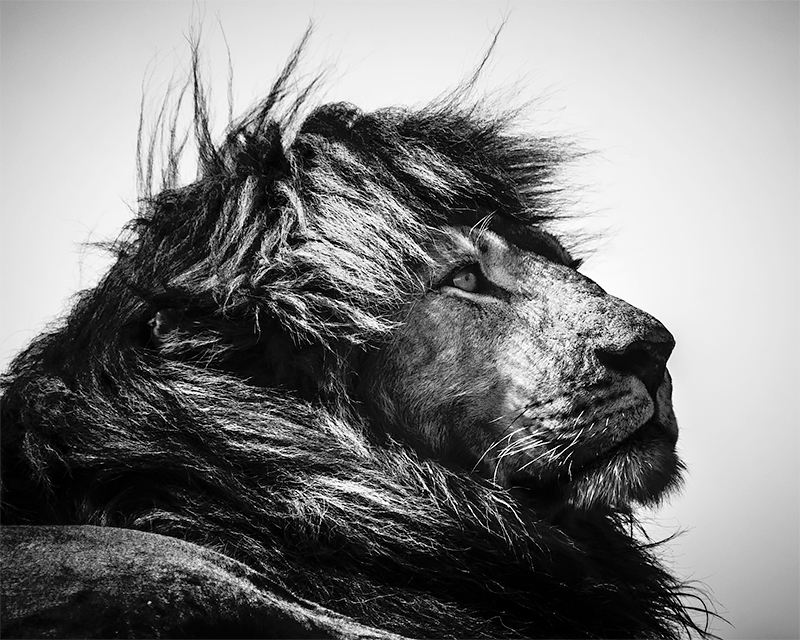 Lion looking at bird, Tanzania 2018<p>© Laurent Baheux</p>