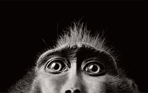 Tim Flach - Monkey Eyes