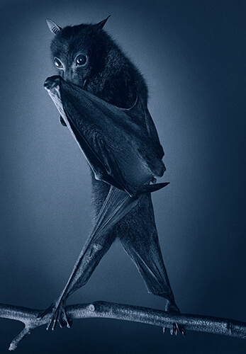 Opera Bat<p>Courtesy Peter Bailey Production / © Tim Flach</p>