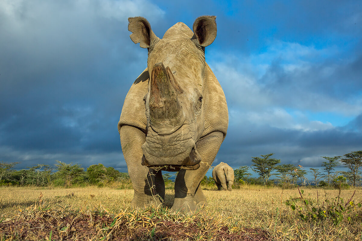 13 year old southern white rhino Tauwo (meaning Friend in Masai) at Ol Pejeta Conservancy in northern Kenya<p>© Georgina Goodwin</p>