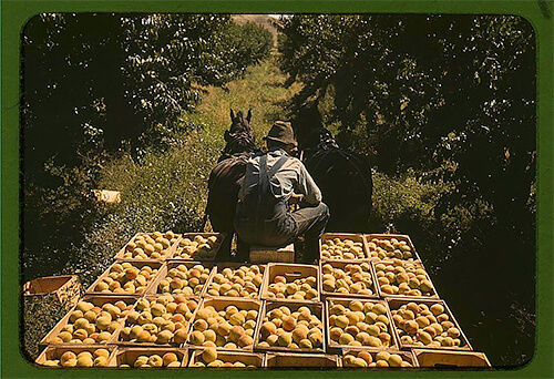 Russell Lee - Hauling crates of peaches from the orchard to the shipping shed, Delta County, Colorado, in late 1940. ©Library of Congress