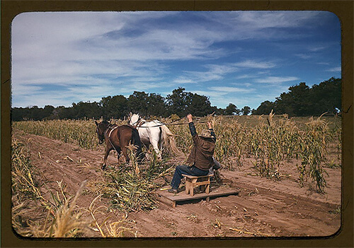 Russell Lee - Harvesting new corn from the field of Jim Norris, in Pie Town, New Mexico, in late 1940.