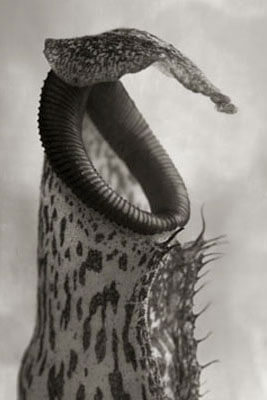 Beth Moon - NEPENTHES COCCINEA