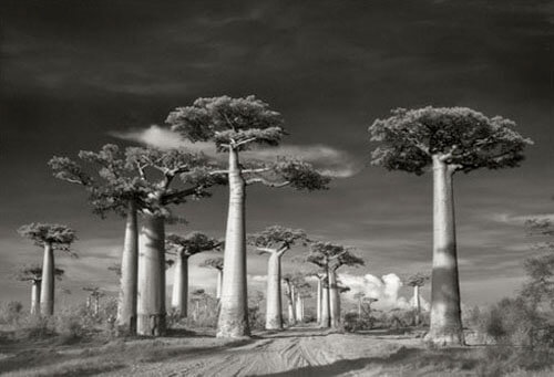 Beth Moon - AVENUE OF THE BAOBABS