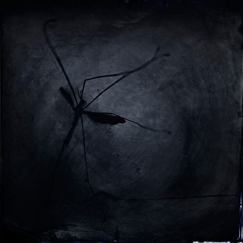S. Gayle Stevens - According to Nature: cranefly
