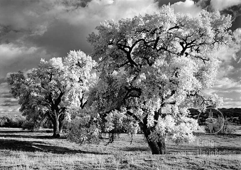 Cottonwood no-5, New Mexico<p>© Craig Varjabedian</p>