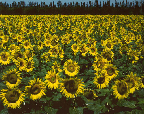 Sunflowers, France 1983<p>© Cole Weston</p>